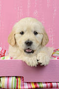 Gold Retriever Pink Background Print by Greg Cuddiford
