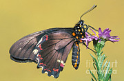 Papilionidae Prints - Gold Rim Swallowtail Butterfly Print by Millard H. Sharp
