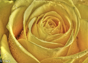 Tracy Hall Prints - Gold Rose Print by Tracy  Hall