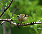 Paul Scoullar - Goldcrest