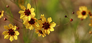 Kathy Clark - Golden Alabama Coreopsis...