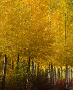 Shimmering Leaves Posters - Golden Aspens Poster by Don Schwartz