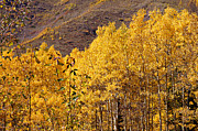 Michael Kirsh - Golden Aspens near...
