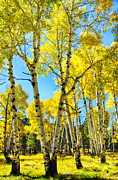 Fall Trees Posters - Golden Aspens  Poster by Saija  Lehtonen