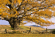 Split Rail Fence Prints - Golden Autumn Print by Alan L Graham