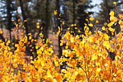 Quaking Aspen Posters - Golden Autumn Poster by Cindy Singleton