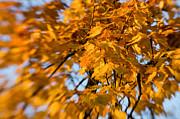 Kasia Dixon - Golden Autumn
