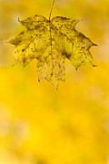 Pure Michigan Prints - Golden Autumn Print by Sebastian Musial