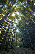 Bamboo Metal Prints - Golden Bamboo Forest Metal Print by Aaron S Bedell
