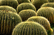 Howard Koby Posters - Golden Barrel Cactus Poster by Howard Koby