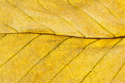Textured Tree Prints - Golden Beech Leaf Print by Anne Gilbert