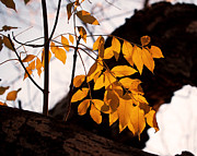 Vibrant Photo Metal Prints - Golden Beech Leaves Metal Print by Rona Black