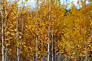 Andrea Kollo Art - Golden Birches by Andrea Kollo