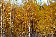 Andrea Kollo - Golden Birches