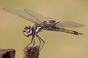 Dragon Fly Photos - Golden Brown V2 by Douglas Barnard