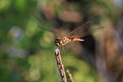 Dragonflies Art - Golden Brown V4 by Douglas Barnard