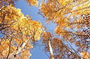 The Forests Edge Photography - Diane Sandoval - Golden Canopy