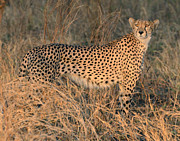 All - Golden Cheetah At Sunset by Tom Wurl
