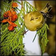 LeeAnn McLaneGoetz McLaneGoetzStudioLLCcom - Golden Christmas Finch