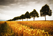 Cornfield Framed Prints - Golden cornfield and row of trees Framed Print by Matthias Hauser