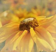 Kim Hojnacki - Golden Crown - Rudbeckia Flower