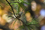 Golden-crowned Kinglet Print by Christina Rollo