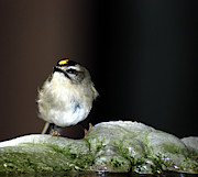 Crowned Head Posters - Golden-crowned Kinglet Poster by Optical Playground By MP Ray