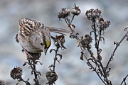 Sparrow Art - Golden-crowned Sparrow by Ken Simonite