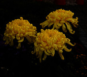 Sympathy Metal Prints - Golden Crysanthemums Metal Print by Cassandra Buckley
