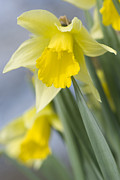 Yellows Framed Prints - Golden Daffodils Framed Print by Anne Gilbert