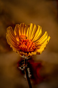 Arizona Photography Prints - Golden Dandelion Print by Robert Bales