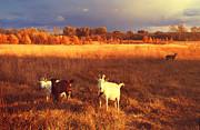 Jenny Rainbow - Golden Day on the Field