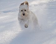 Golden Doodle In Snow Print by Joseph Duba