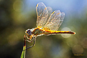Martina  Rathgens - Golden Dragonfly