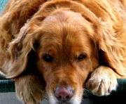 Golden Retrievers Photos - Golden Dreams by Karen Wiles