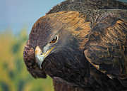 Golden Eagle Framed Prints - Golden Eagle Framed Print by Bill Tiepelman