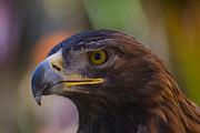 Garry Gay - Golden Eagle