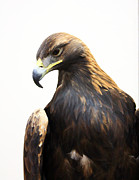 Gerry Bates - Golden Eagle