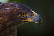 Garry Gay - Golden Eagle Hunting For...