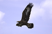 Dave Cawkwell - Golden Eagle in Flight