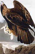 Golden Eagle Print by John James Audubon