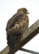 Roost Art - Golden Eagle by Loree Johnson