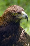Anne Rodkin - Golden Eagle Portrait