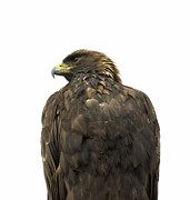 Roost Prints - Golden Eagle Profile Print by Loree Johnson