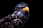 Golden Eagle Framed Prints - Golden Eagle Framed Print by Ryan Wyckoff