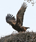 Bill Gabbert - Golden Eagle takes off