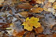 Andrea Kollo - Golden Fallen Leaf