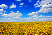 Puffy Digital Art Posters - Golden Fields Under Puffy Clouds Poster by Bill Tiepelman