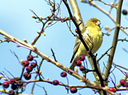 Bird In Tree Posters - Golden Finch Poster by Nick Gustafson
