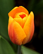 Spring Florals Photos - Golden Glow Tulip Flower by Jennie Marie Schell